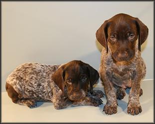 GSHP pups